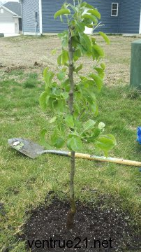 Asian Pear Planted