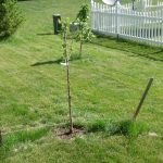 My Tilton Apricot Tree